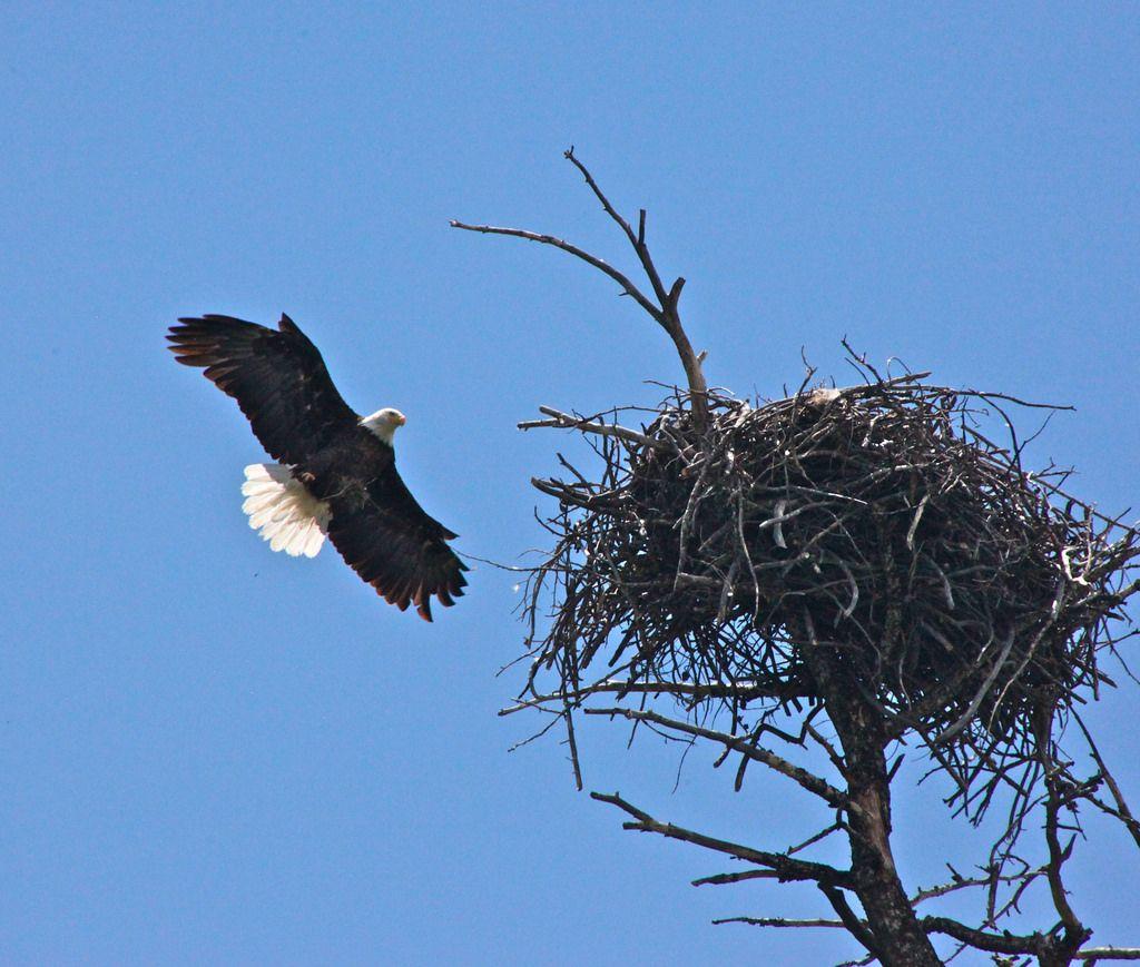 marco island bald eagle nest