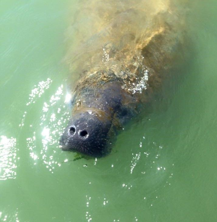 Wild manatee in Marco Island