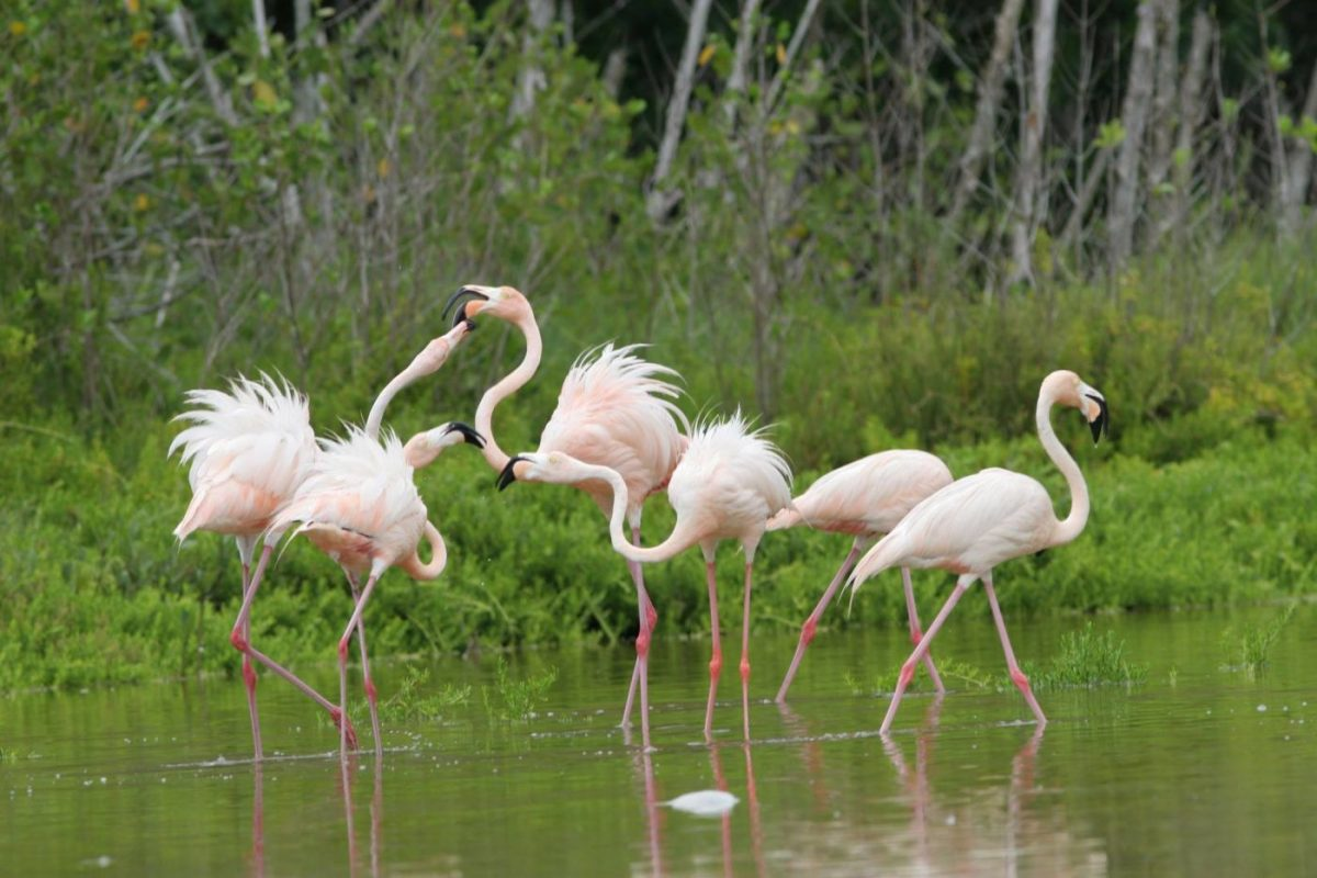 Flamingos in the Everglades National Park