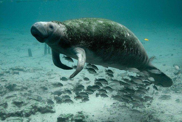 manatee swimming in ocean