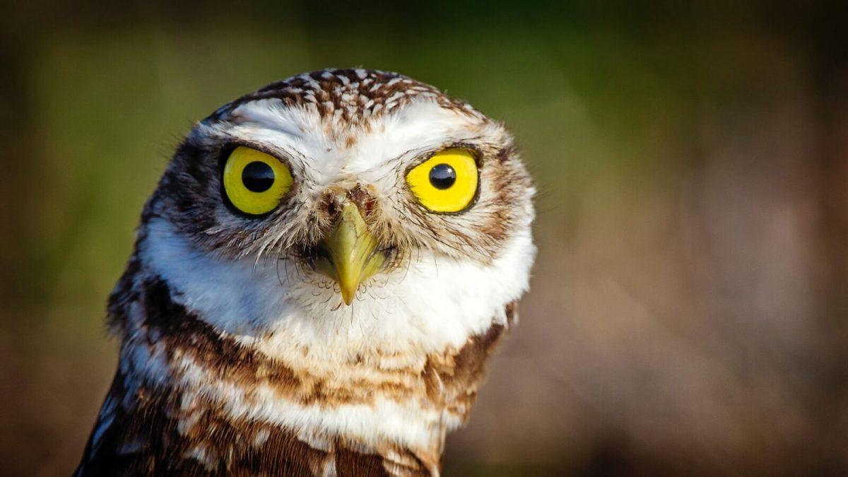 burrowing owl marco island